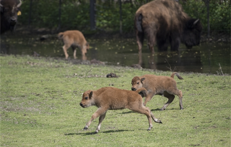_Julie Larsen Maher_2124_American Bison and Calves_BZ_05 01 17.JPG