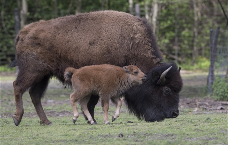 _Julie Larsen Maher_3714_American Bison and Calves_BZ_05 03 17.JPG