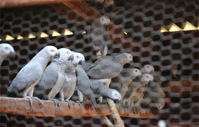 african grays