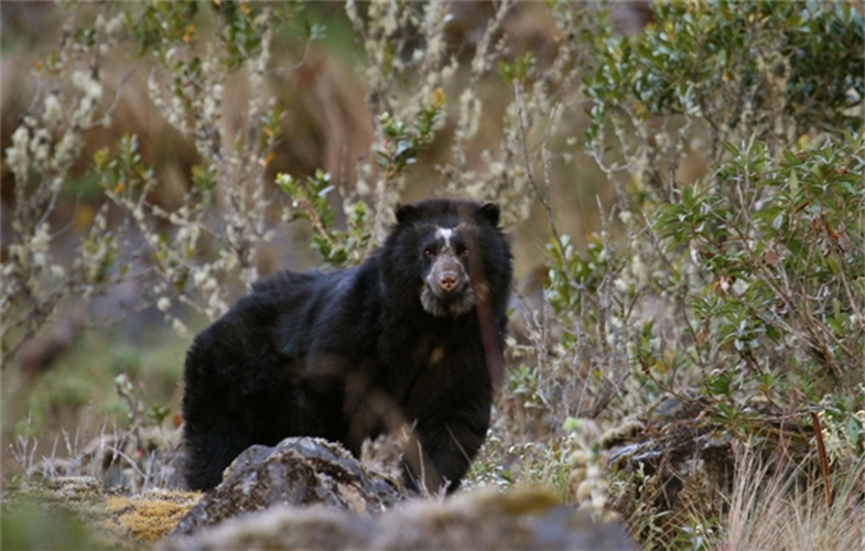 andean bear by rob wallace