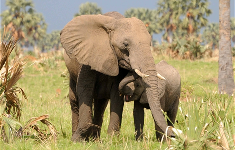elephant and calf A.Plumptre WCS
