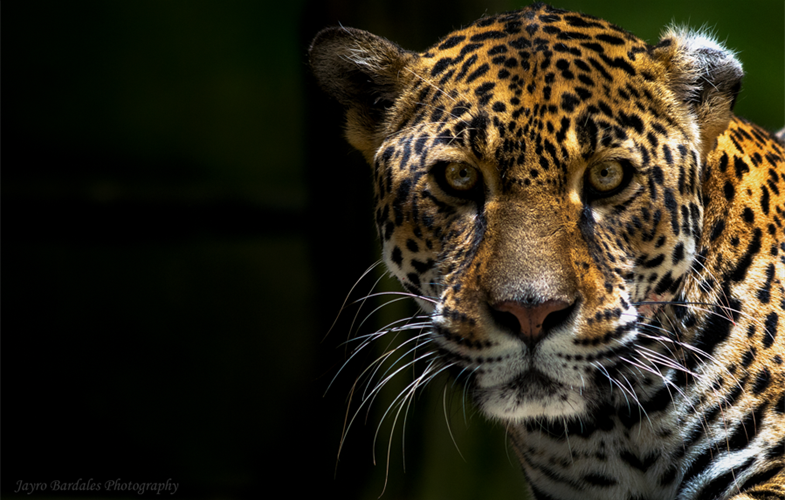 Mesoamerica's five forests are home to more than 7.5 percent of the planet's biodiversity, including the iconic jaguar (photo by Jayro Bardales)