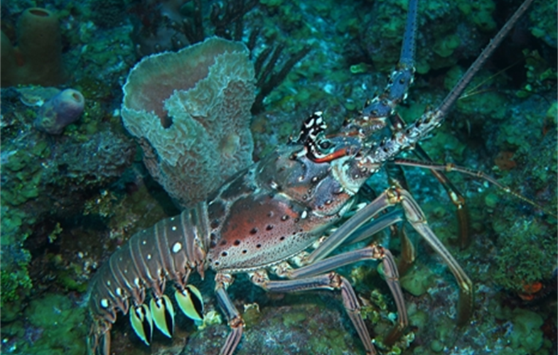 A spiny lobster in the waters of Belize. CREDIT: A. Tewfik/WCS