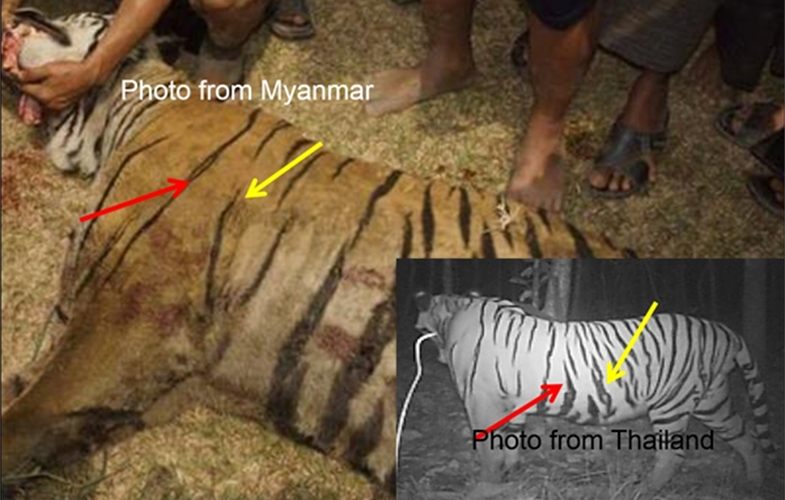 myanmar tiger comparison