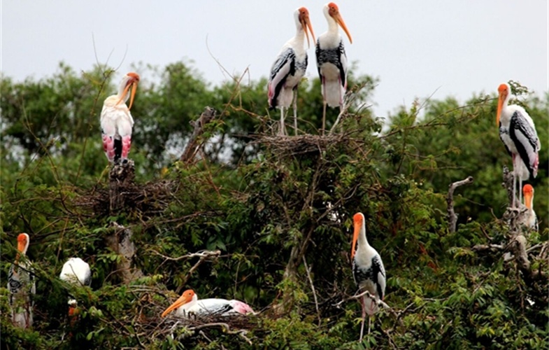 painted stork from Prek Toal CREDIT Sun Visal WCS