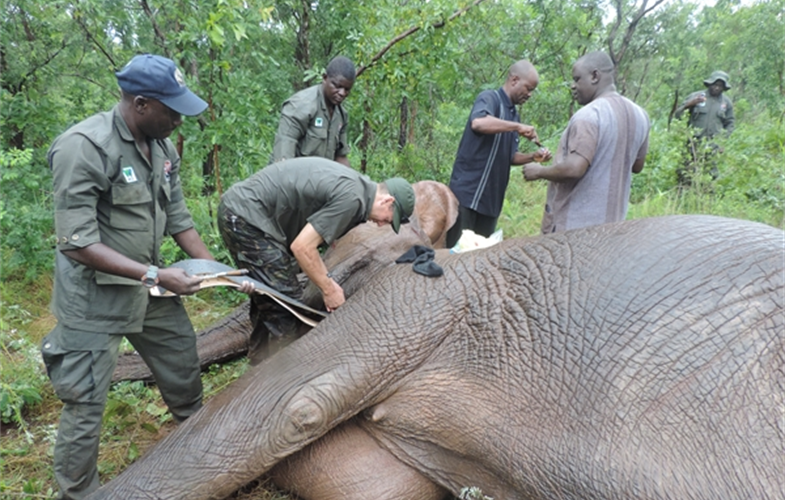 Photo © Nacha Geoffrey, WCS Nigeria Program. Veterinarian Dr. Richard Harvey, fitting a satellite/GPS collar to one of the Yankari elephants, August 2019