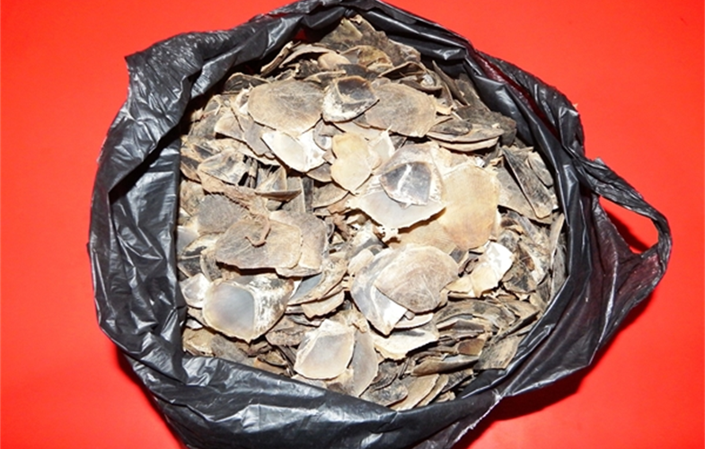 Pangolin scales seized in arrest  Cr: WCS