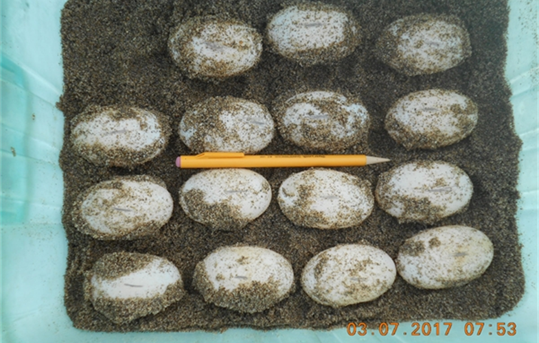 viable turtle eggs PHOTO CREDIT STEVEN PLATT WCS.JPG