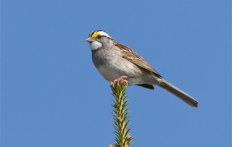 White throated sparrow CREDIT: Larry Master